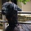 五月山動物園 アルパカ